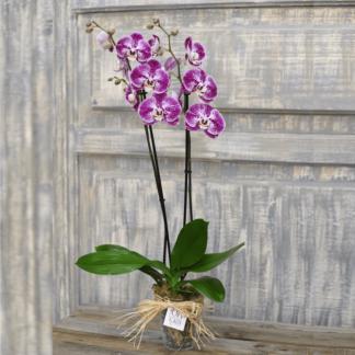 Orquídea Phalenopsis Base Cristal
